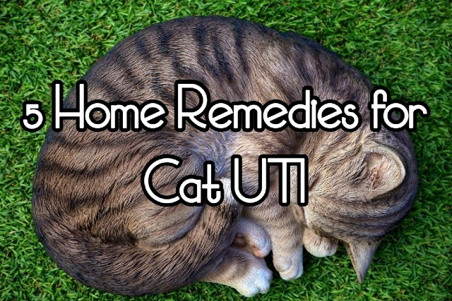 5 Easy Home Remedies For Cat Uti Quality Veterinarians